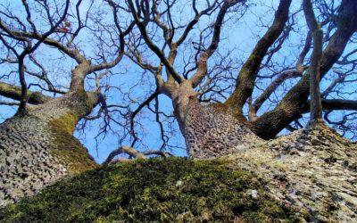 À la découverte des arbres remarquables de chens : balade-photo